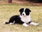 台州哪有边境牧羊犬卖 台州边境牧羊犬价格 边境牧羊犬多少钱