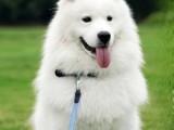 广东旺驰犬舍 哪里买天使萨摩耶 cku认证 高端纯种健康