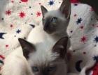 自家出售小可爱暹罗猫 做齐疫苗 欢迎新家长带回家