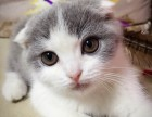 潮州哪里有苏格兰折耳 高地折耳猫卖 疫苗已做保健康
