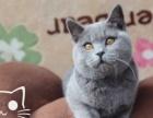 纯种家养英国短毛猫 蓝猫 银渐层苏格兰折耳猫宠物猫