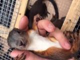 飞鼠,迷你刺猬,蜜袋鼯,龙猫,魔王雪地松鼠