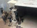 纯种马犬 血统纯 体型好 比利时马犬幼犬 欢迎选购