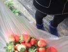 2017年太白西福源采摘园草莓火爆采摘中春节不放假