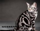 CFA注册猫舍活体英国短毛猫/蓝猫/大眼睛圆脑袋
