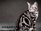 家庭式猫舍正规繁育的纯种美短虎斑猫活泼粘人通人性