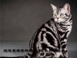 CFA猫舍出售纯种短毛猫疫苗齐全保证健康可上门