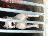 霸气外漏纯种杜高幼犬签订协议品质 健康双保证