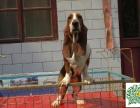 哪里有卖巴吉度猎犬的,巴吉度猎犬多少钱一只