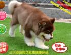 店主推荐 犬舍直销纯种阿拉斯加 养得活才是王道