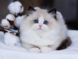 南京正规猫舍出售纯种健康布偶猫喜欢的联系