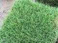 马尼拉草坪,马尼拉