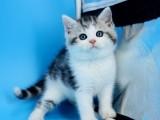 纯种美短猫虎斑美短加白起司美国短毛猫宠物猫咪活物