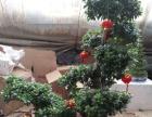 龙徐兰发财树绿植租赁维护养护