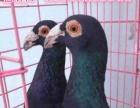 延安公斤鸽价格元宝鸽子图片公斤元宝鸽价格