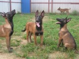 专业繁殖纯种双血统马犬 科目马犬 全国免费包运