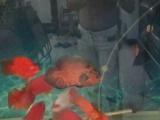 售鹦鹉,龙鱼,罗汉,120cm上滤鱼缸