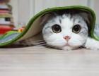 苏格兰折耳猫价格灰色 淘宝店铺搜:双飞猫