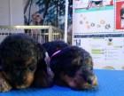 万能梗专业养殖中心,犬舍规模大 种犬均是冠军级名犬