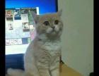**纯种英短猫猫
