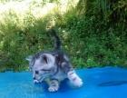 自家繁殖虎斑猫幼崽