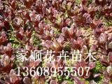 红叶甜菜找家顺花卉苗木_品种优良_辽宁红叶甜菜小苗