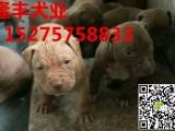 临夏比特犬价格,出售纯种比特幼犬