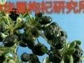 出售中华黑枸杞苗,种植黑枸杞亩收入10万元发大财