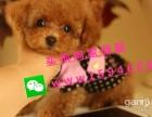 众匠吭精品韩国小体 聪明可爱的泰迪犬,质量健康有保障