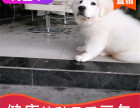 哪有大白熊犬出售,大白熊犬出售多少钱