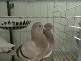 呼市地区出售新鲜鸽子蛋