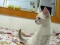 纯种暹罗猫瞧一瞧 看一看 喜欢联系我
