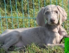 真正的顶级精品纯种威玛猎犬质量三包出售送货上门