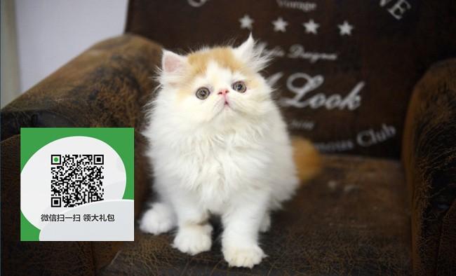 镇江哪里有加菲猫出售 镇江加菲猫价格 镇江宠物狗出售信息