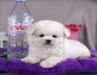 超可爱比熊宝宝纯种法系棉花糖包纯种健康签售犬协议