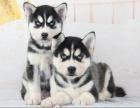 北京出售 哈士奇犬 保純種 三針疫苗齊全 健康血統有保障