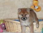银川 出售2到4个月柴犬 包健康纯种!