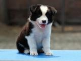 广州什么地方有狗场卖宠物狗/广州哪里有卖边境牧羊犬