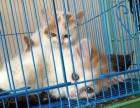 黄白花波斯猫长毛短毛崽崽