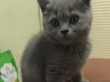 自家繁殖英短母猫纯种