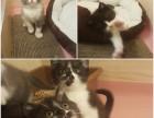 家养可爱短毛猫