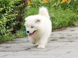 中國專業繁殖雙血統薩摩耶犬舍 可以上門挑選