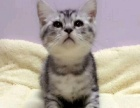 短毛猫出售,进口疫苗已做