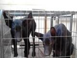 黑狼犬最新市场价格是多少