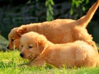 成都低價出售金毛犬哈士奇 拉布拉多薩摩耶包純種健康可上門挑選