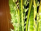 家养虎皮兰已连续开花3年,保证年年开花,花美味香