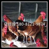 蓬安县野鸡苗养殖成本黄脚