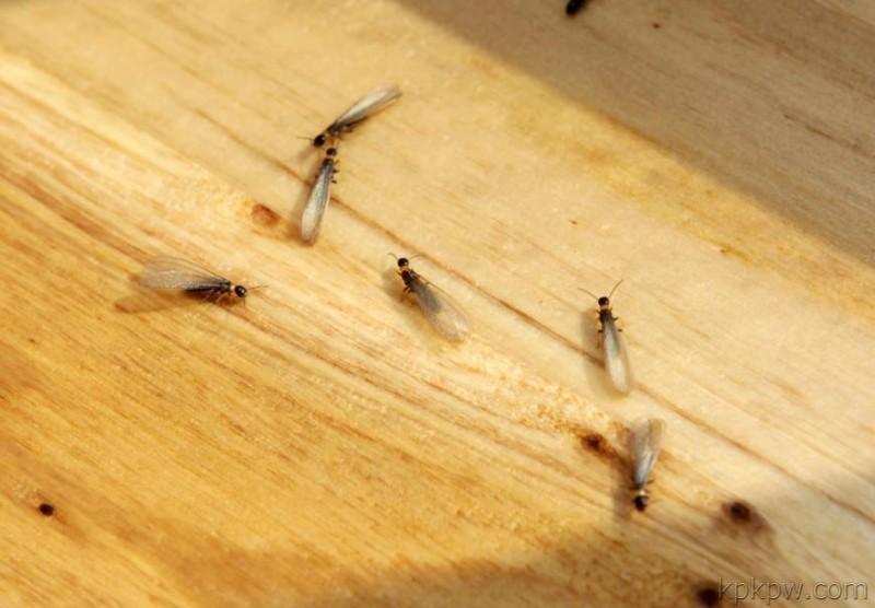 专业灭鼠+灭蟑螂+灭白蚁+灭飞蚂蚁成都均可上门服务!