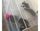 魔王松鼠两只550打包送鼠粮笼子等