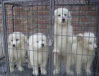 郑州哪里有大白熊出售 大白熊哪里的比较好 大白熊多少钱